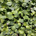 Load image into Gallery viewer, Organic microgreens