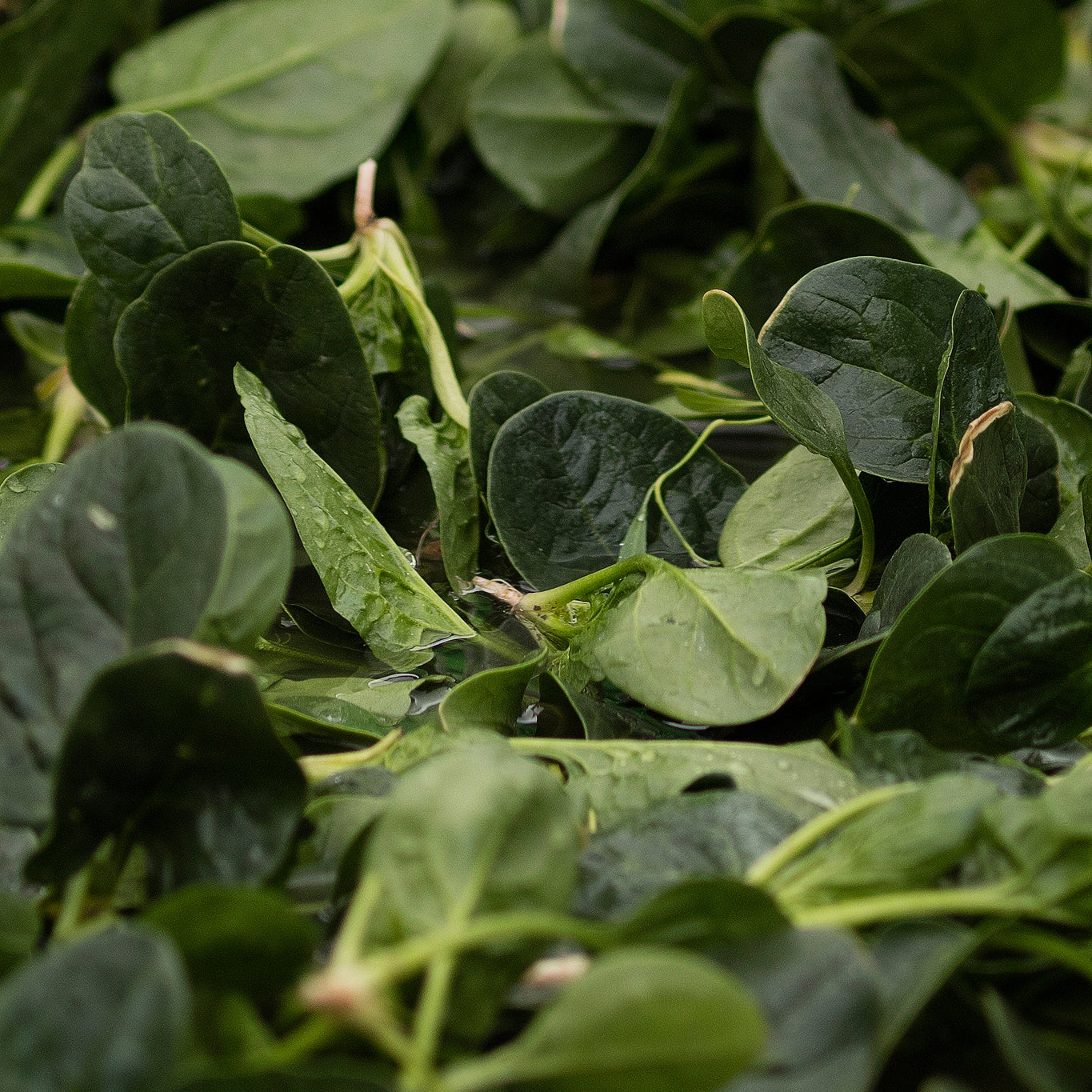 Organic spinach - Untamed Earth