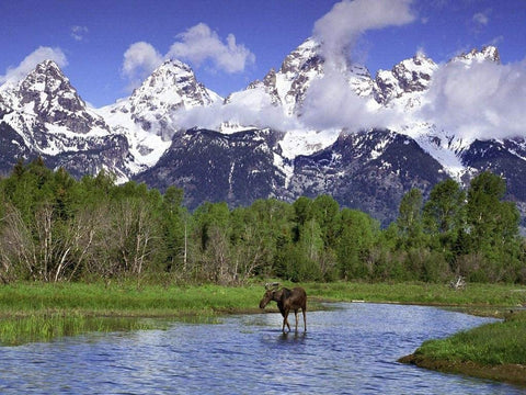 Jigsaw Puzzle 1000 Piece - Moose Wading in A River Grand Teton National Park Wyoming