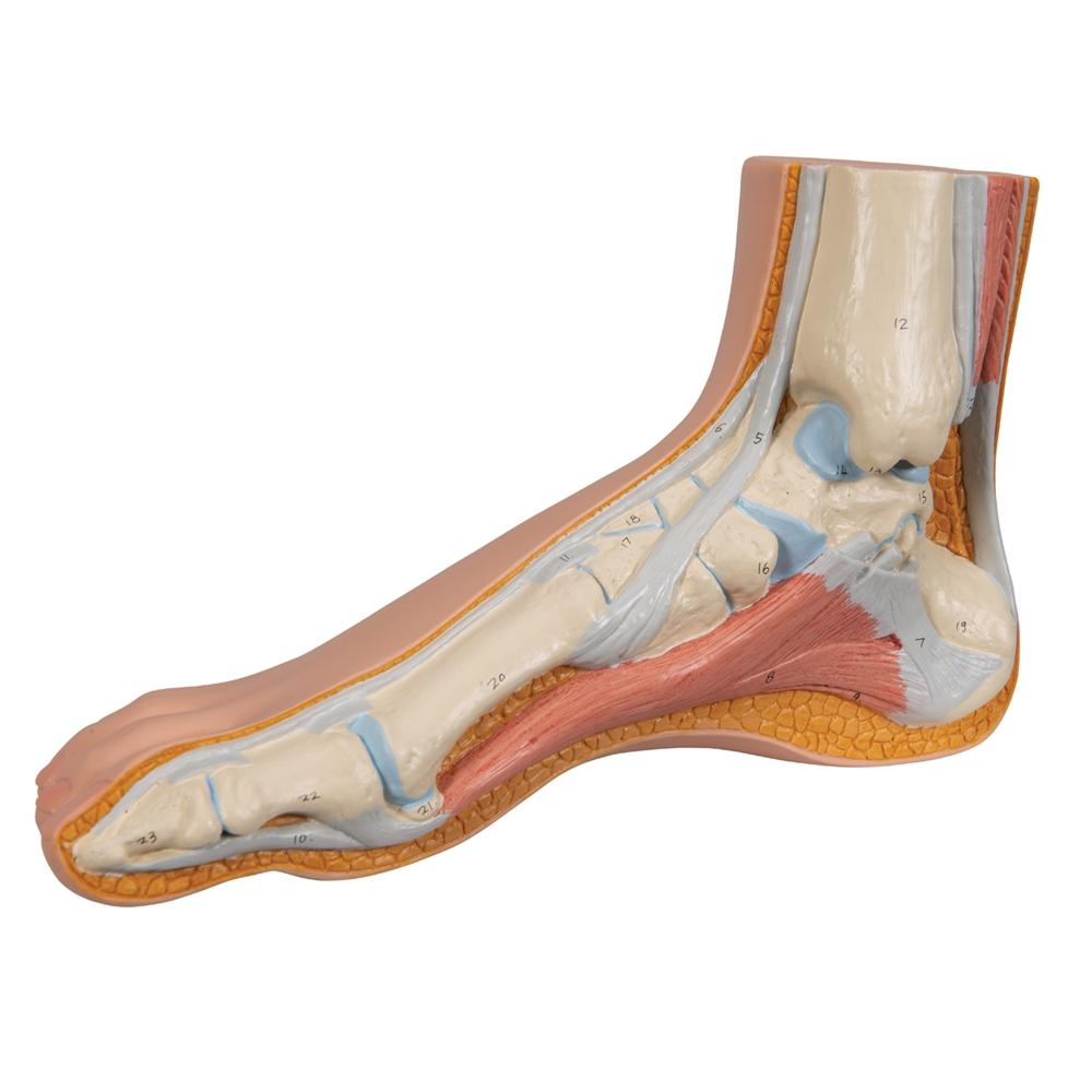 Foot Structure Models