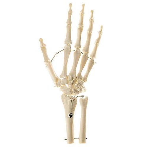 Skeletons of the Hand