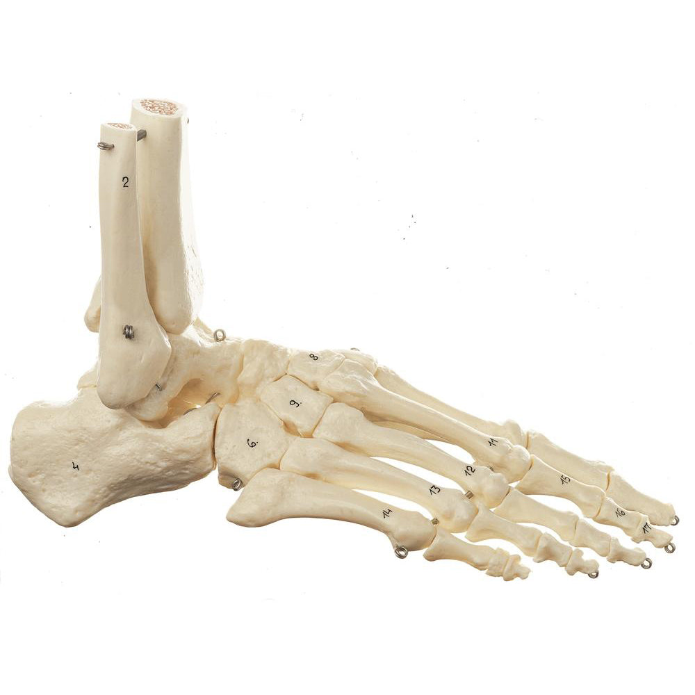 Skeletons of the Foot