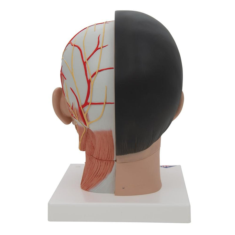 Asian Deluxe Head with Neck, 4 part - Includes 3B Smart Anatomy