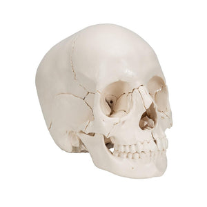 Beauchene Adult Skull Model 22 part - Includes 3B Smart Anatomy