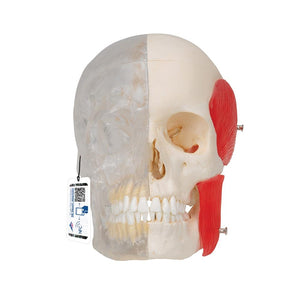 BONElike™ Bony Skull Half Transparent, 8 part - Includes 3B Smart Anatomy