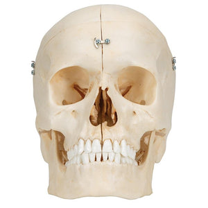 BONElike™ Human Bony Skull Model, 6 part - Includes 3B Smart Anatomy