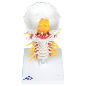 Cervical Spinal Column Model - Includes 3B Smart Anatomy