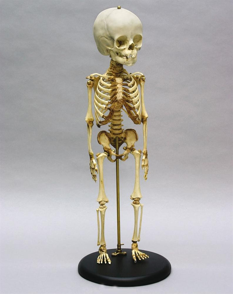 Child Skeleton, 14 to 16 Months Old