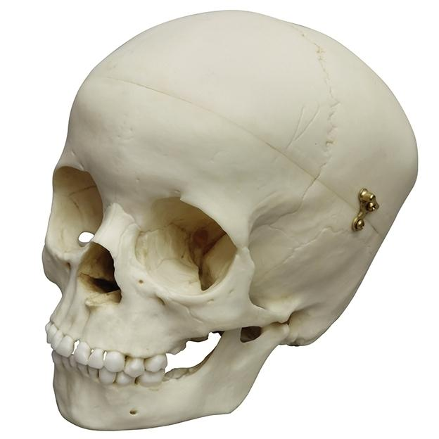 Child Skull Model, 5 Year Old