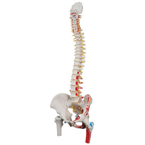 Classic Flexible Spine Model with femur heads and painted muscles - Includes 3B Smart Anatomy
