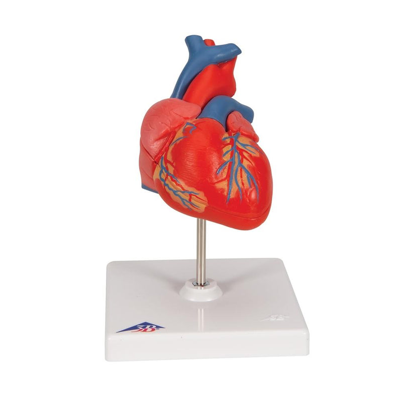 Classic Heart Model, 2-part - Includes 3B Smart Anatomy