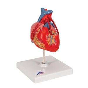 Classic Heart with Bypass, 2 part - Includes 3B Smart Anatomy