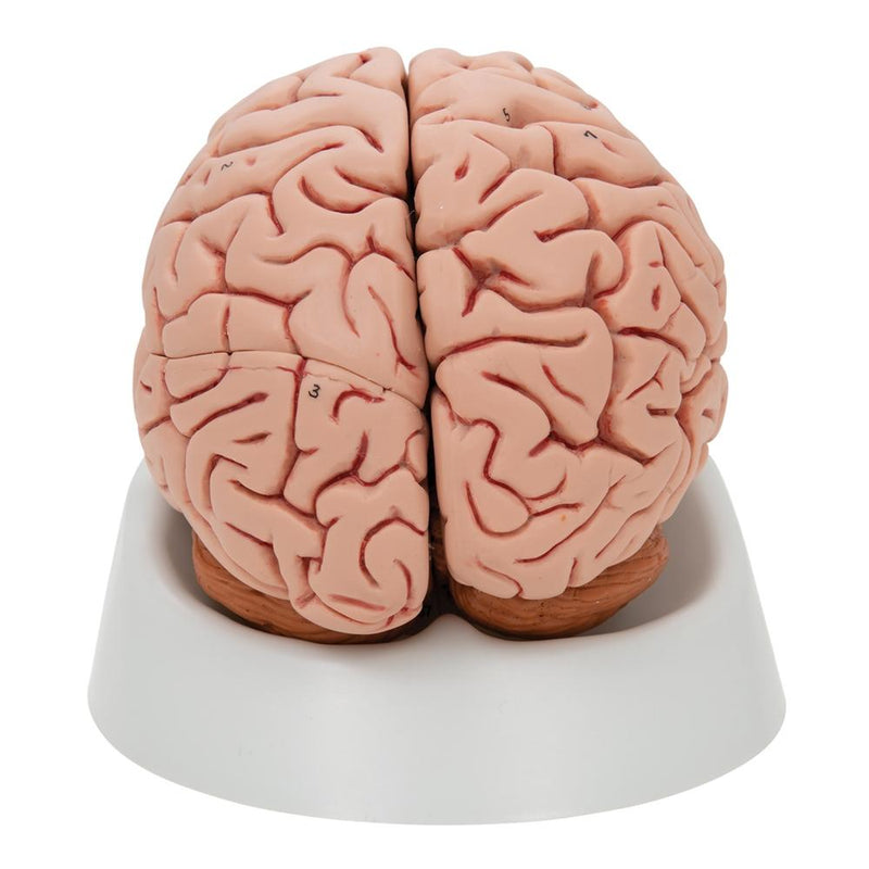 Classic Human Brain Anatomy Model, 5 part - Includes 3B Smart Anatomy