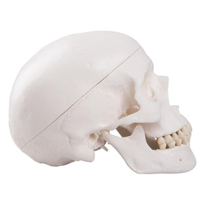 Classic Human Skull Model, 3 part - Includes 3B Smart Anatomy