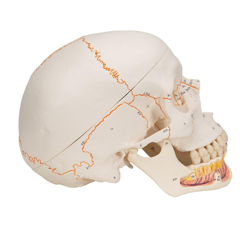 Classic Skull Model with Opened Jaw, 3-part - Includes 3B Smart Anatomy