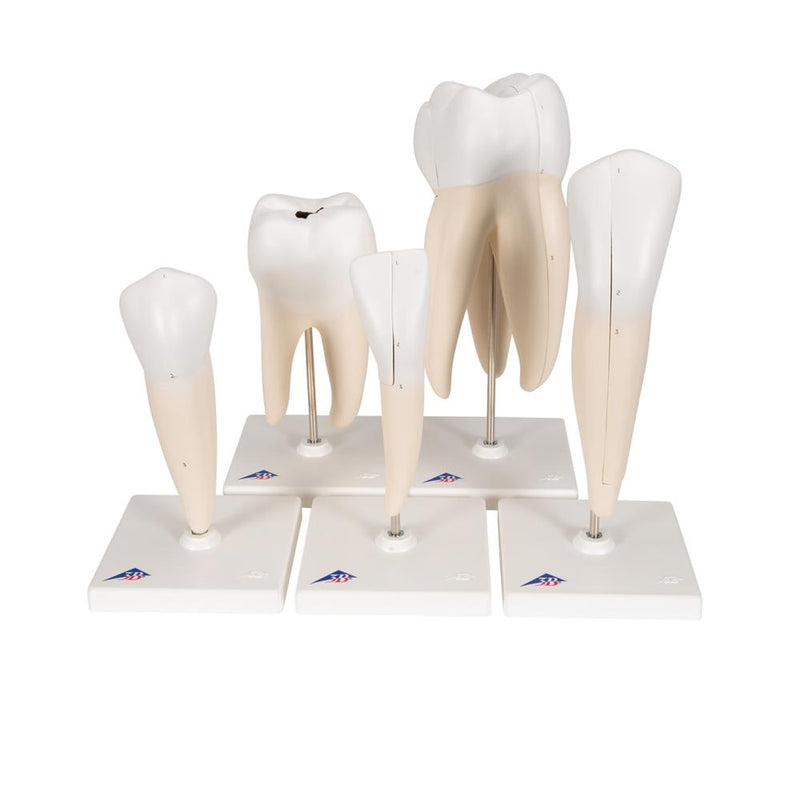 Classic Tooth Model Series, 5 models - Includes 3B Smart Anatomy