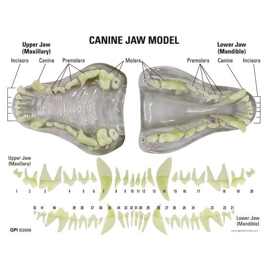 Clear Canine Jaw Model