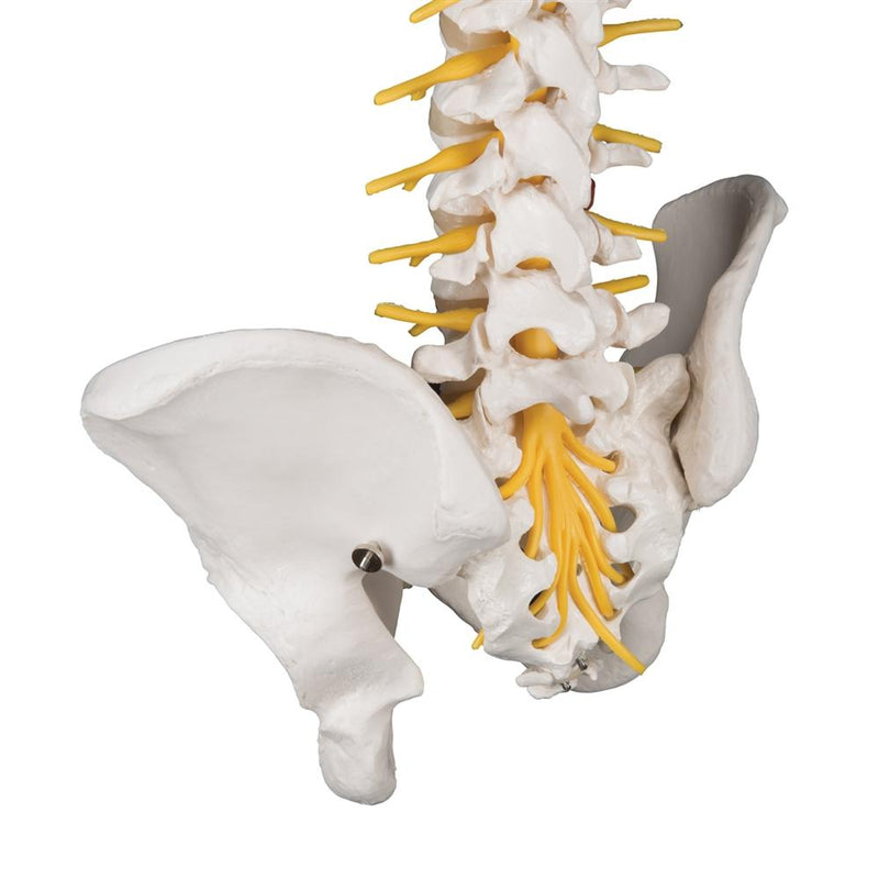 Deluxe Flexible Spine Model - Includes 3B Smart Anatomy
