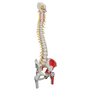 Deluxe Flexible Spine Model with Femur Heads and Painted Muscles - Includes 3B Smart Anatomy