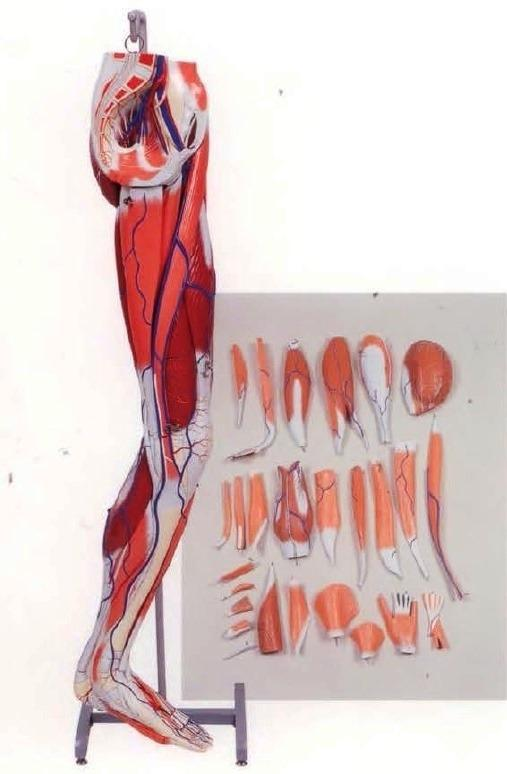 Dissectible Leg Musculature Model (A3D)