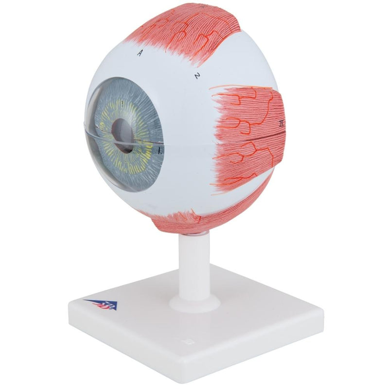 Eye Model, 5 times full-size, 6 part - Includes 3B Smart Anatomy