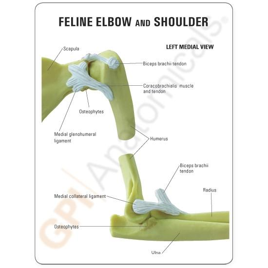 Feline Elbow and Shoulder Model