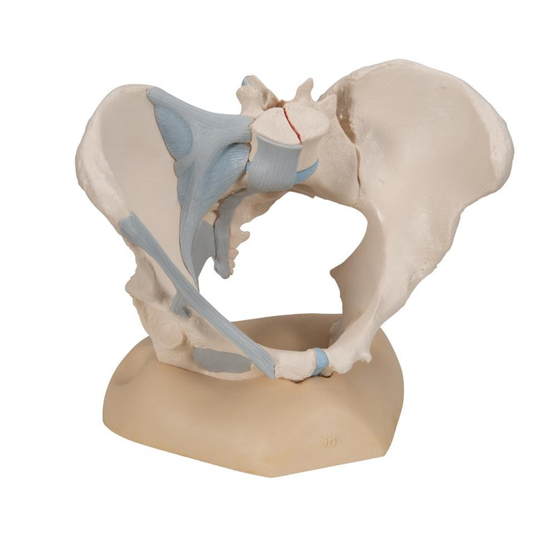 Female Pelvis with Ligaments, 3 part - Includes 3B Smart Anatomy