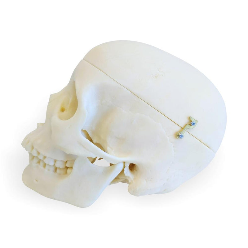Female Skull Model, 3 Part
