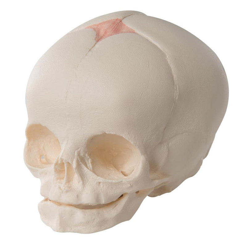 Fetal Skull Model in the 30th Week of Pregnancy - Includes 3B Smart Anatomy