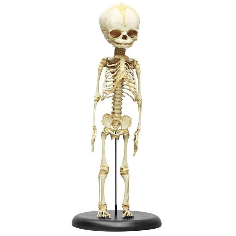 Fetus Skeleton, 30th Week of Pregnancy