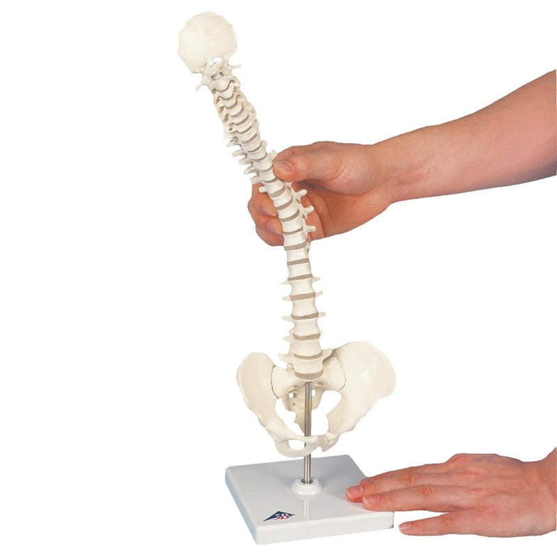 Flexible Mini Spinal Column on Base - Includes 3B Smart Anatomy