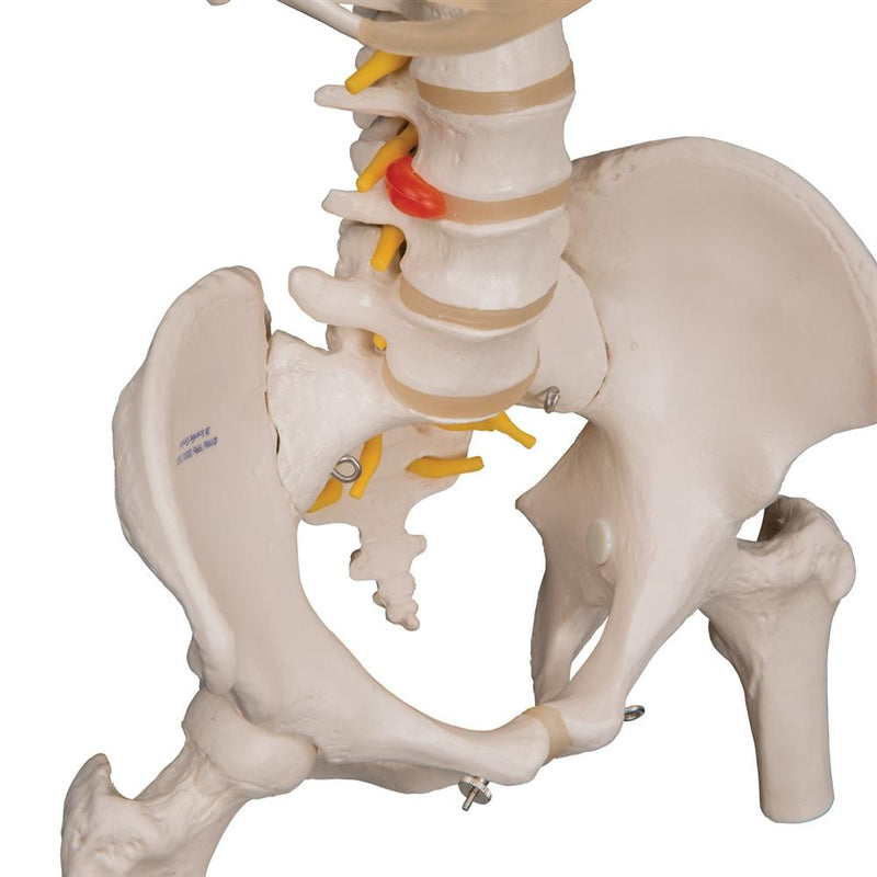 Flexible Spine Model with Ribs and Femur Heads - Includes 3B Smart Anatomy