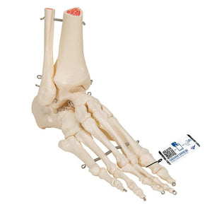 Foot and Ankle Skeleton Model - Includes 3B Smart Anatomy