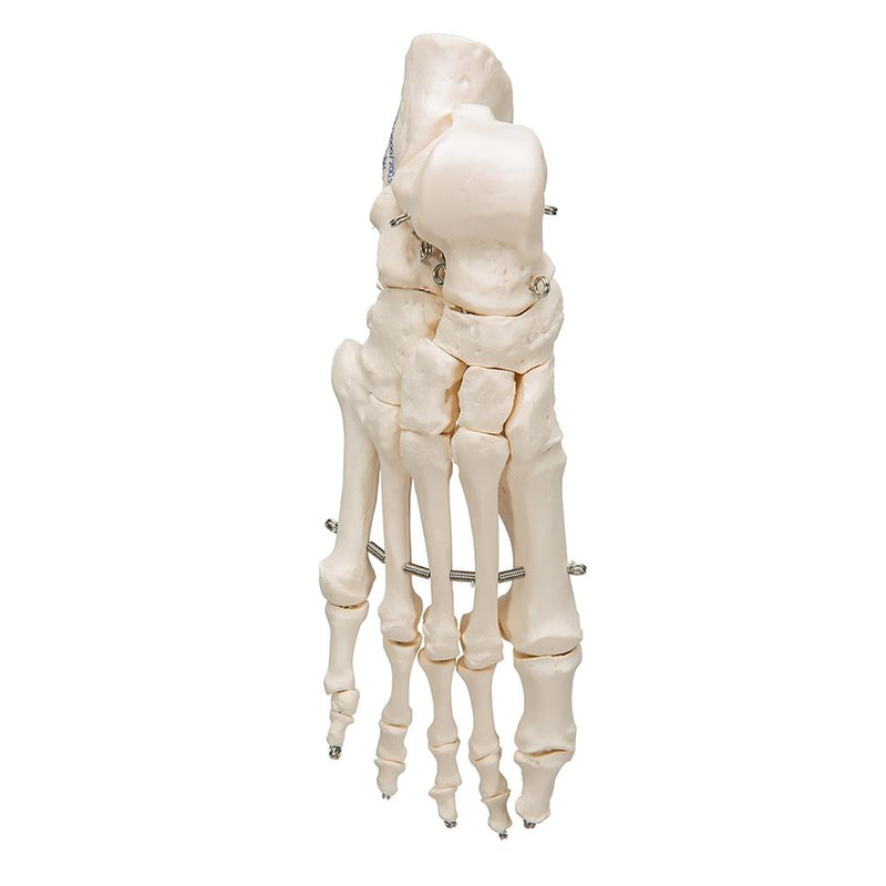 Foot Skeleton Wire Mounted - Includes 3B Smart Anatomy