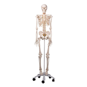 Fred Flexible Skeleton on Pelvic Stand - Includes 3B Smart Anatomy