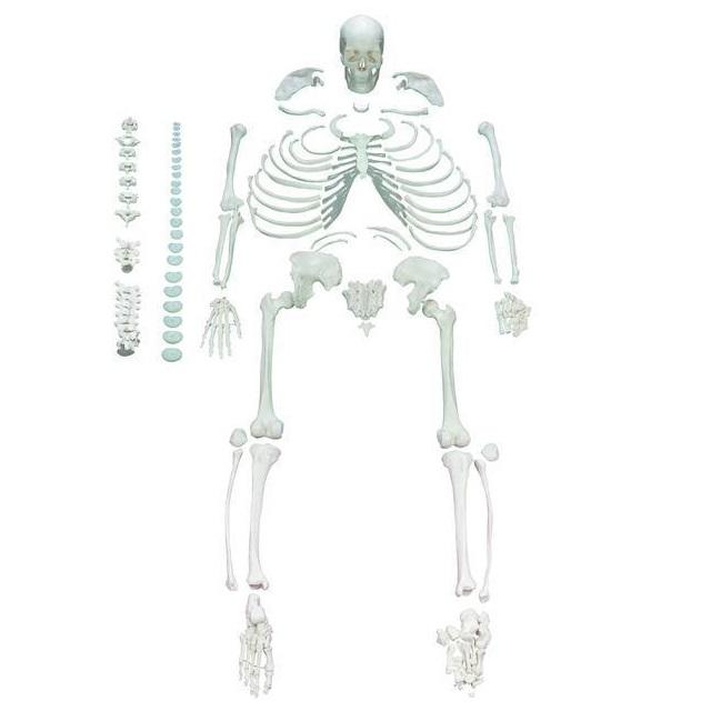 Full Disarticulated Human Skeleton