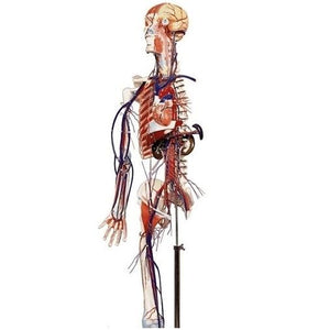 Full-Figure Circulatory System with Half Skeleton