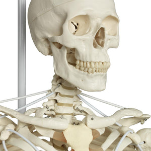 Functional Physiological Skeleton, Frank, Posable - Includes 3B Smart Anatomy
