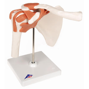Functional Shoulder Joint Model - Includes 3B Smart Anatomy