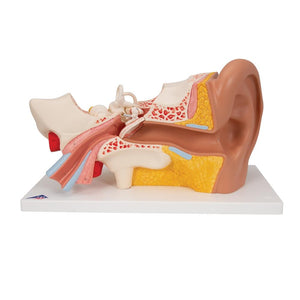 Giant Ear Model, 3x Life Size, 4-part - Includes 3B Smart Anatomy