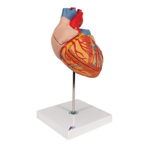 Giant Heart, 2-times life-size, 4-part - Includes 3B Smart Anatomy