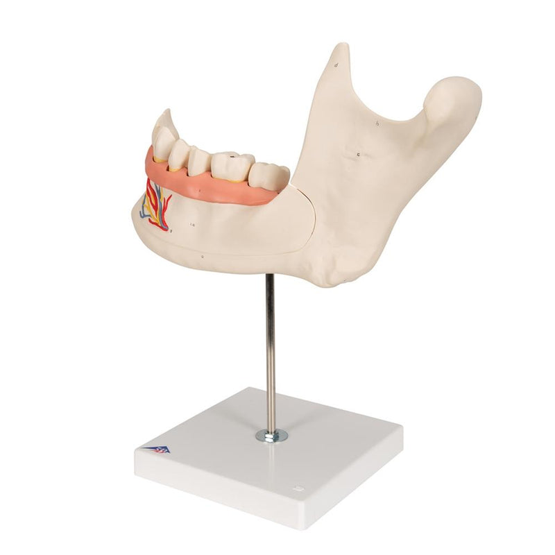 Half Lower Jaw Model, 3 times full-size, 6 part - Includes 3B Smart Anatomy
