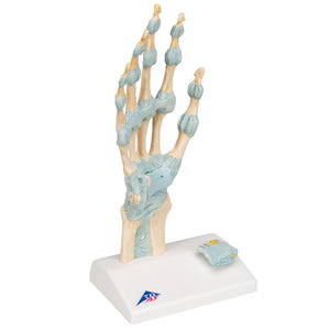 Hand Skeleton with Ligaments and Carpal Tunnel - Includes 3B Smart Anatomy