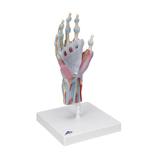 Hand Skeleton with Ligaments and Muscles - Includes 3B Smart Anatomy