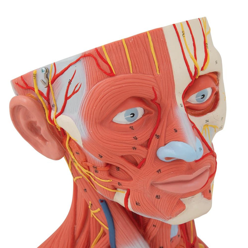 Head and Neck Musculature Model, 5-part - Includes 3B Smart Anatomy