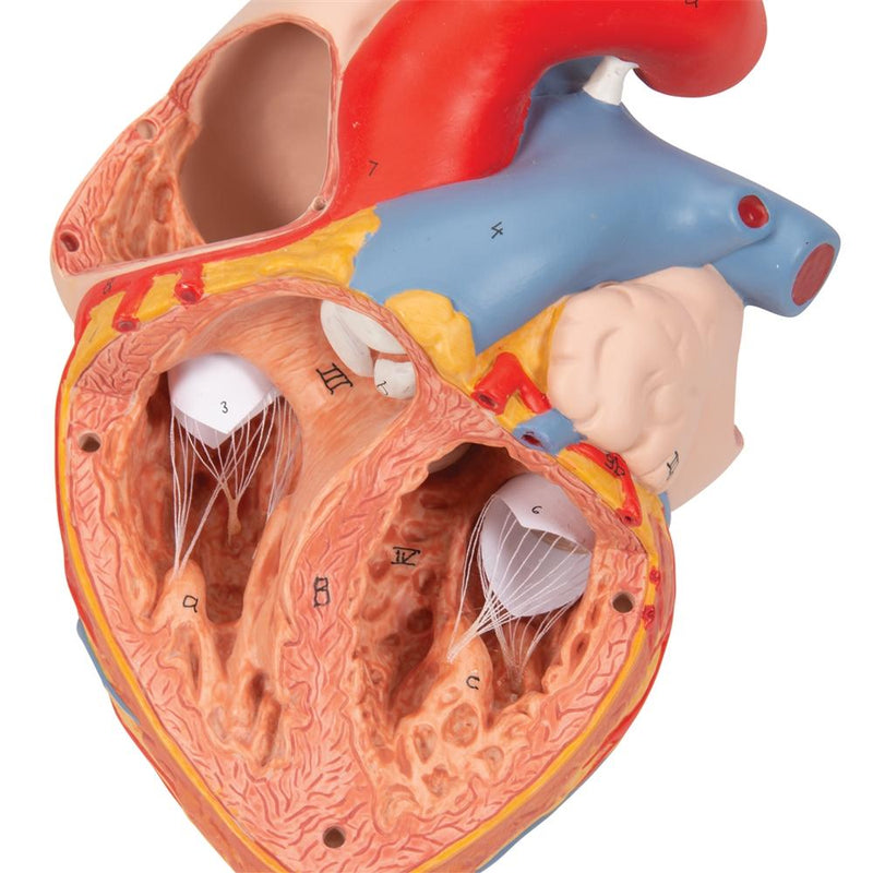 Heart with Esophagus and Trachea, 2x life size, 5 part - Includes 3B Smart Anatomy