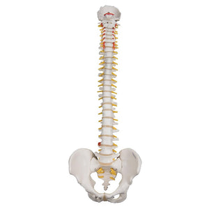 Highly Flexible Spine Model - Includes 3B Smart Anatomy