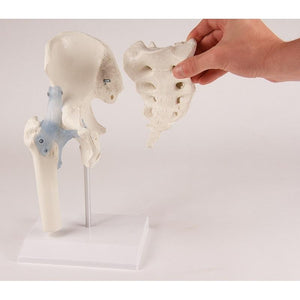 Hip joint model with sacrum and ligaments on stand