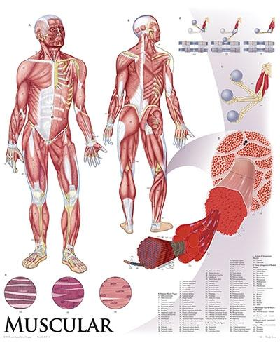 Human Anatomy & Physiology Chart Series - Set on Tripod