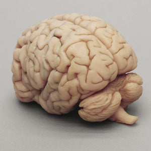 Human Brain Model with Multiple Frontal Sections